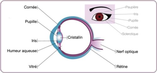 structure de l'oeil